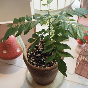 カレーリーフ - sola og planta ハーブとお花のお庭日記