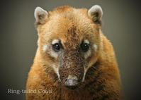 アカハナグマ:Ring-tailed Coati - 動物園の住人たち写真展