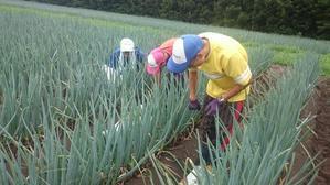 W農福連携 請負作業・夏野菜収穫と納品ほか - ジョブファーム活動ブログ