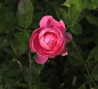 庭の花/ Flowers in our garden. A newcomer, La Reine Victoria. - 花と天然石ハンドメイドジュエリー