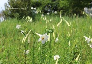 高砂ゆり~♪ 夏の終わりを感じて - miyorinの秘密のお庭