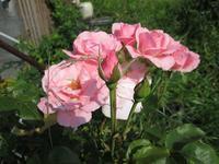 我が家の薔薇 - ほっと♪ふらっと♭写真道楽