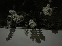 夜のサルスベリと麦星 - マリカの野草画帖