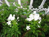 ルリマツリの花が好き - 花の自由旋律