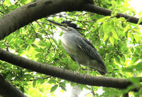 ササゴイ - barbersanの野鳥観察