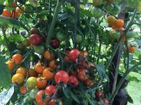 Urgent Harvest (緊急収穫) - ファルマウスミー