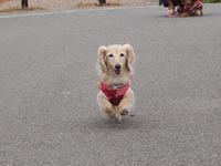17年8月16日 アイスにご機嫌♪&米麹甘酒♪ - 旅行犬 さくら 桃子 あんず 日記