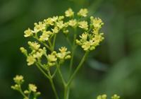 ◆花情報◆女郎花(オミナエシ)の花 - 名鉄犬山ホテル情報