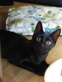 猫のお留守番 ぎねすくん編。 - ゆきねこ猫家族