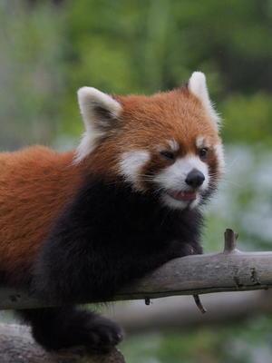 8月は夜の動物園 2 - レッサーパンダとKOOL