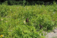蝶牧場で戯れるオビシロアゲハ - TOM'S Photo