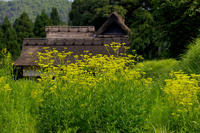 越畑の女郎花(右京区) - 花景色-K.W.C. PhotoBlog