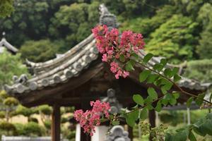百日紅 2奈良県 -