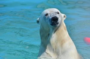 シロクマ - 動物園で写真撮影
