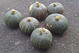 カボチャ初収穫 -