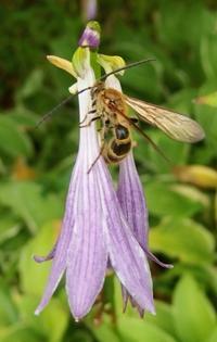 #ハチ『花 と 土蜂』 - 自然感察 *Nature * feeling*