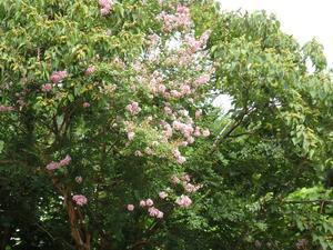 『長良川百日紅街道と三輪神社』 - 自然風の自然風だより