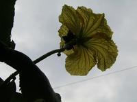 ヘチマの花~ - とり頭ばーばんの七転び八起き