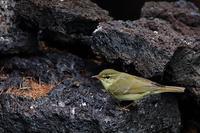 メボソムシクイの岩止まり - 野鳥公園