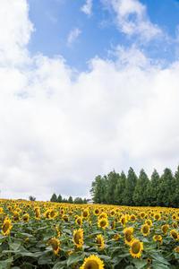世羅高原農場のひまわり - Omoブログ
