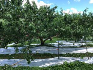 川中島白鳳と昭和白桃の反射シート敷き - ひだくぐのの宇野果樹園?桃・梨・林檎?