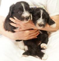 仔犬情報7月13日生まれの仔犬達です - ビアデッド・コリー(ゴールデンバットン飛鳥犬舎)