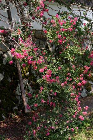 石光寺の百日紅 - katsuのヘタッピ風景