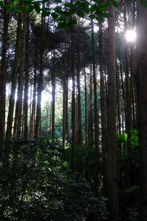 朝の檜林 -
