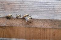 ニホンミツバチ - 身近な動物・植物