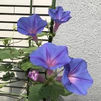 家のお花 - ももちゃん大好き♪