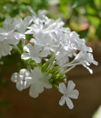 白いお花 と ドライのアジサイ - my story***