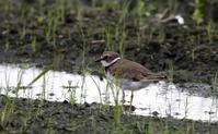 田んぼ巡りで - 私の鳥撮り散歩