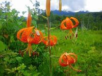 早くも秋の花が咲いています~。@乗鞍高原。 - 乗鞍高原カフェ&バー スプリングバンクの日記②
