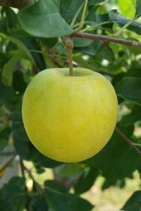 メルシー りんご - 料理研究家ブログ行長万里  日本全国 美味しい話