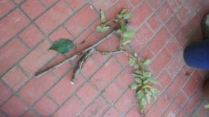 桜は病虫害に弱いか -
