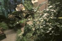 真夜中に羽を休めるチョウチョかな・・ - ひだまりの庭 ~ヒネモスノタリ~