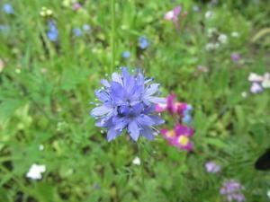 野生の花だけの花壇 - カフェと畑と犬と猫
