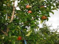 早生りんごの収穫など - 信州ピース&ナチュラルだより