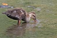★先週末の鳥類園(2017.8.5~6) - 葛西臨海公園・鳥類園Ⅱ