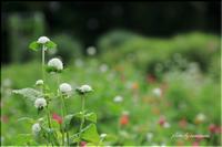 雨の日の花畑 1 - 今日のいちまい