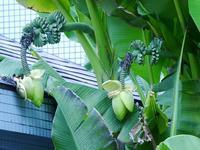 バショウの実がたわわに!ガガイモの花毛がもじゃもじゃ - 花と葉っぱ
