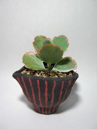 胡蝶の舞 - North Lake Plants