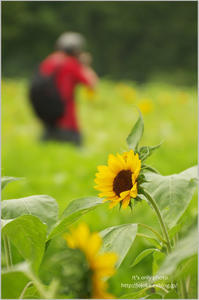 sunflower*Ⅰ - It's only photo