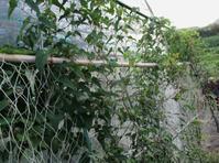 山芋から むかごが・・・ - 島暮らしのケセラセラ