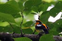 夏鳥の定番 - 比企丘陵の自然