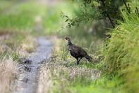 田んぼ巡りでキジの若にあえました。 - 私の鳥撮り散歩