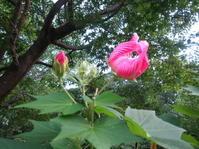 芙蓉咲く - 花の自由旋律