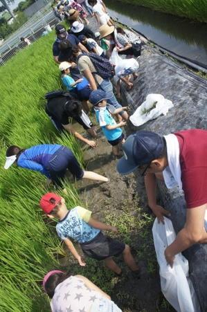 第二回米作り(草引き) - 美木多幼稚園からのお知らせ