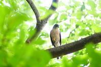 久しぶりにツミ - 西多摩探鳥散歩