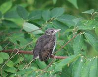 今日の鳥さん 170814(№1) - 万願寺通信